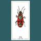 Fire bug // Dessin original à l'encre colorée - oeuvre unique // série Insectes